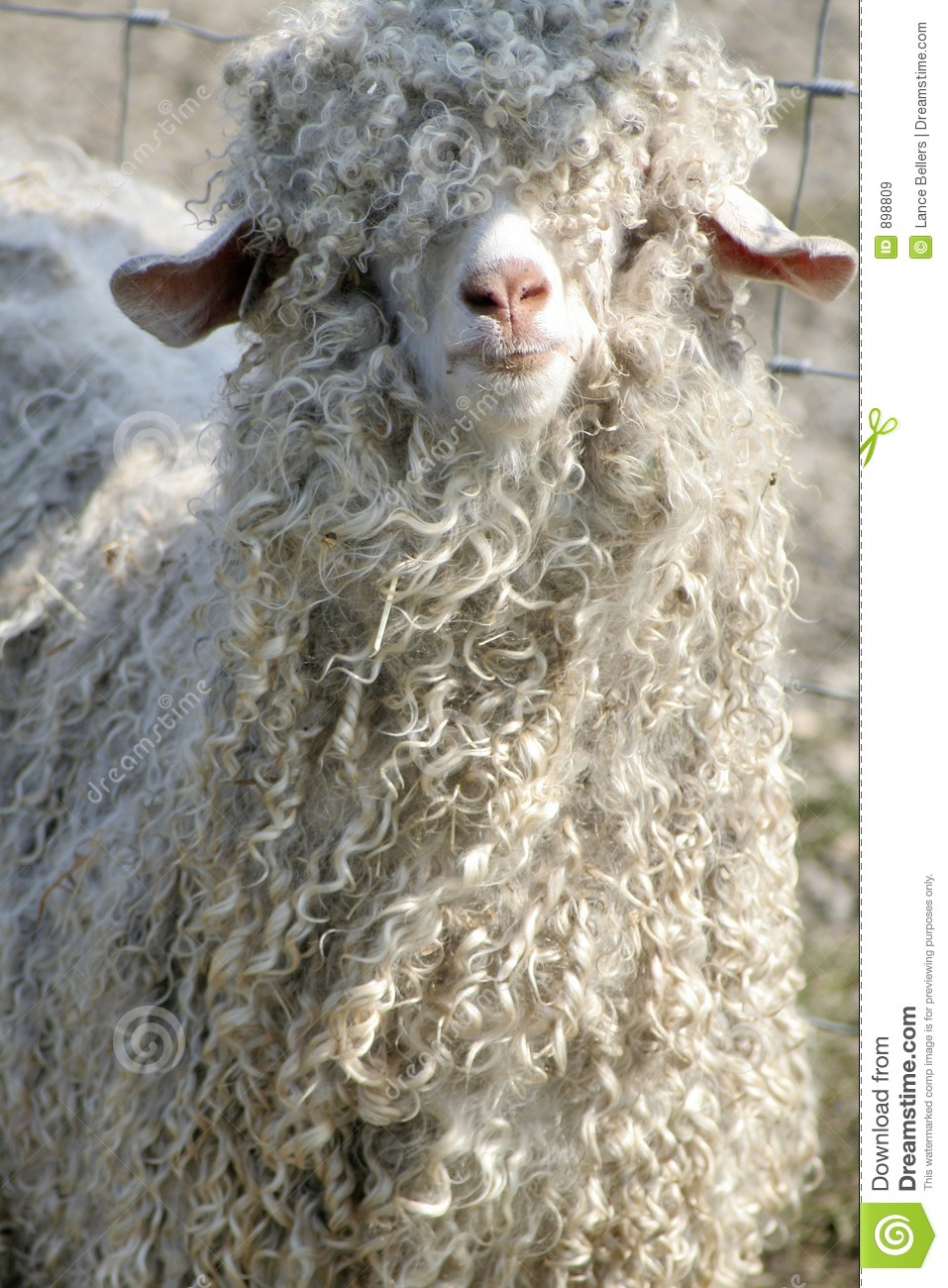 Shaggy Sheep Stock Image Image Of Domestic Snout Shaggy