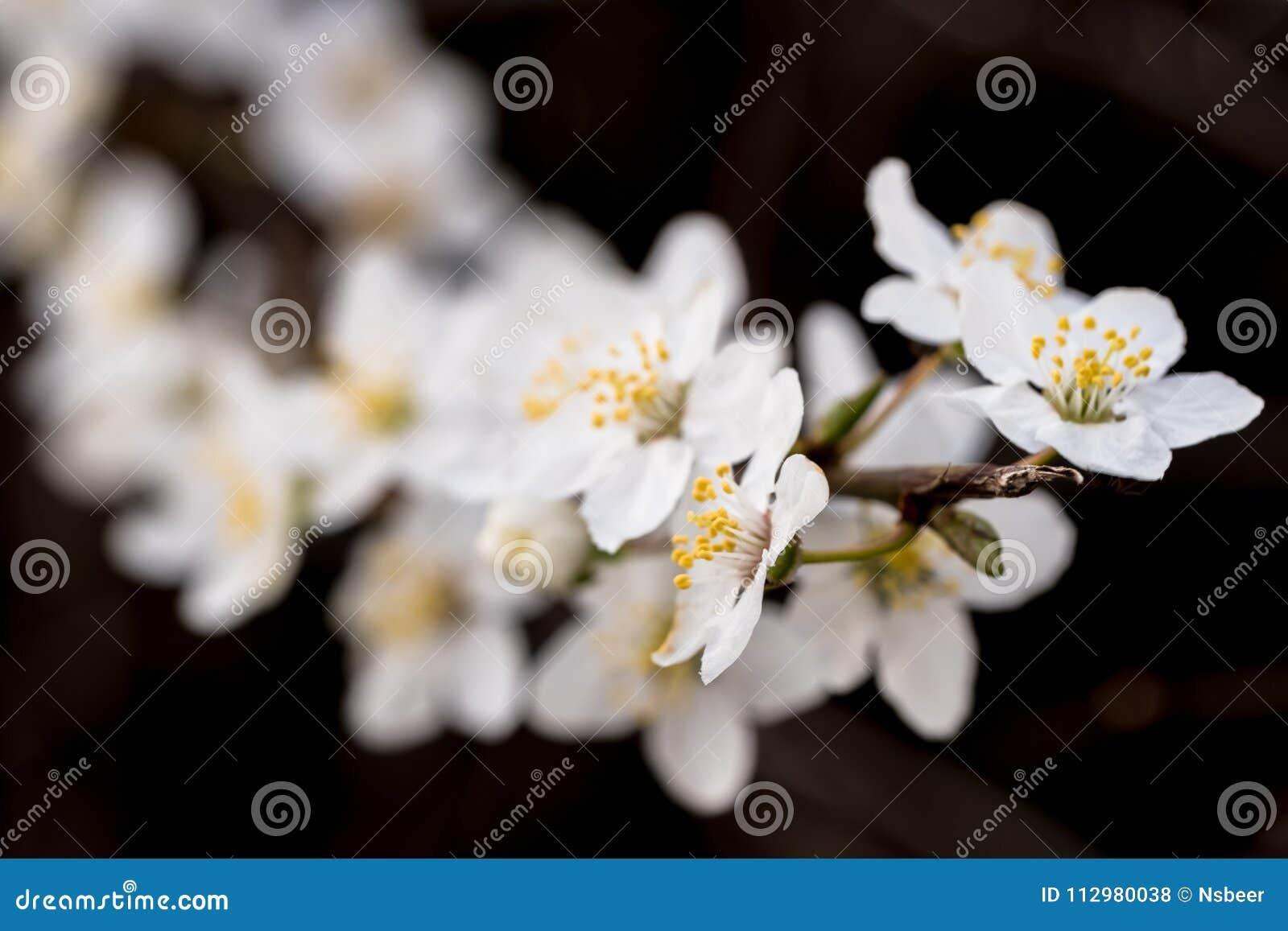 Macro image of springtime crab apple blossom.