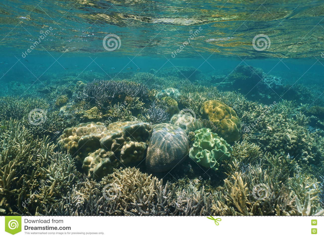 Shallow reef with corals underwater Pacific ocean