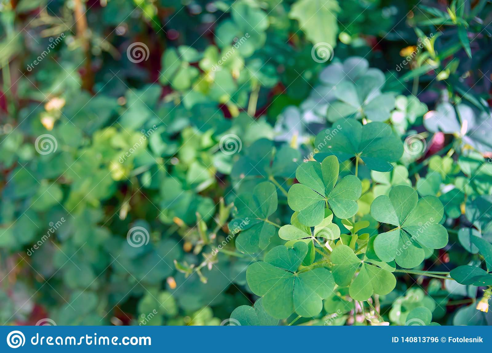 Shamrock Green Leaves Pattern Leaf Clover Closeup Stock Photo