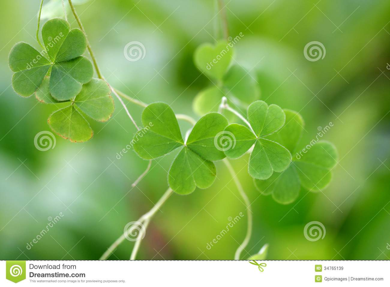 Shamrock Three Leaf Clover Stock Image Image Of Culture 34765139