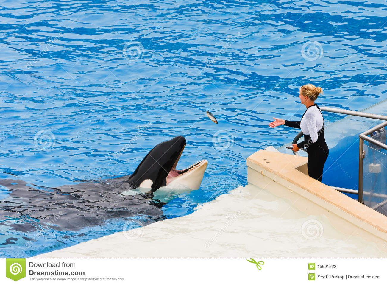 shamu the killer whale at seaworld editorial photography
