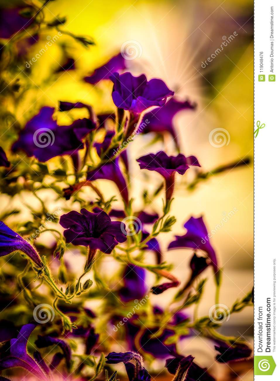 The shape of purple beautiful garden flowers stock photo image of the shape of purple beautiful garden flowers izmirmasajfo