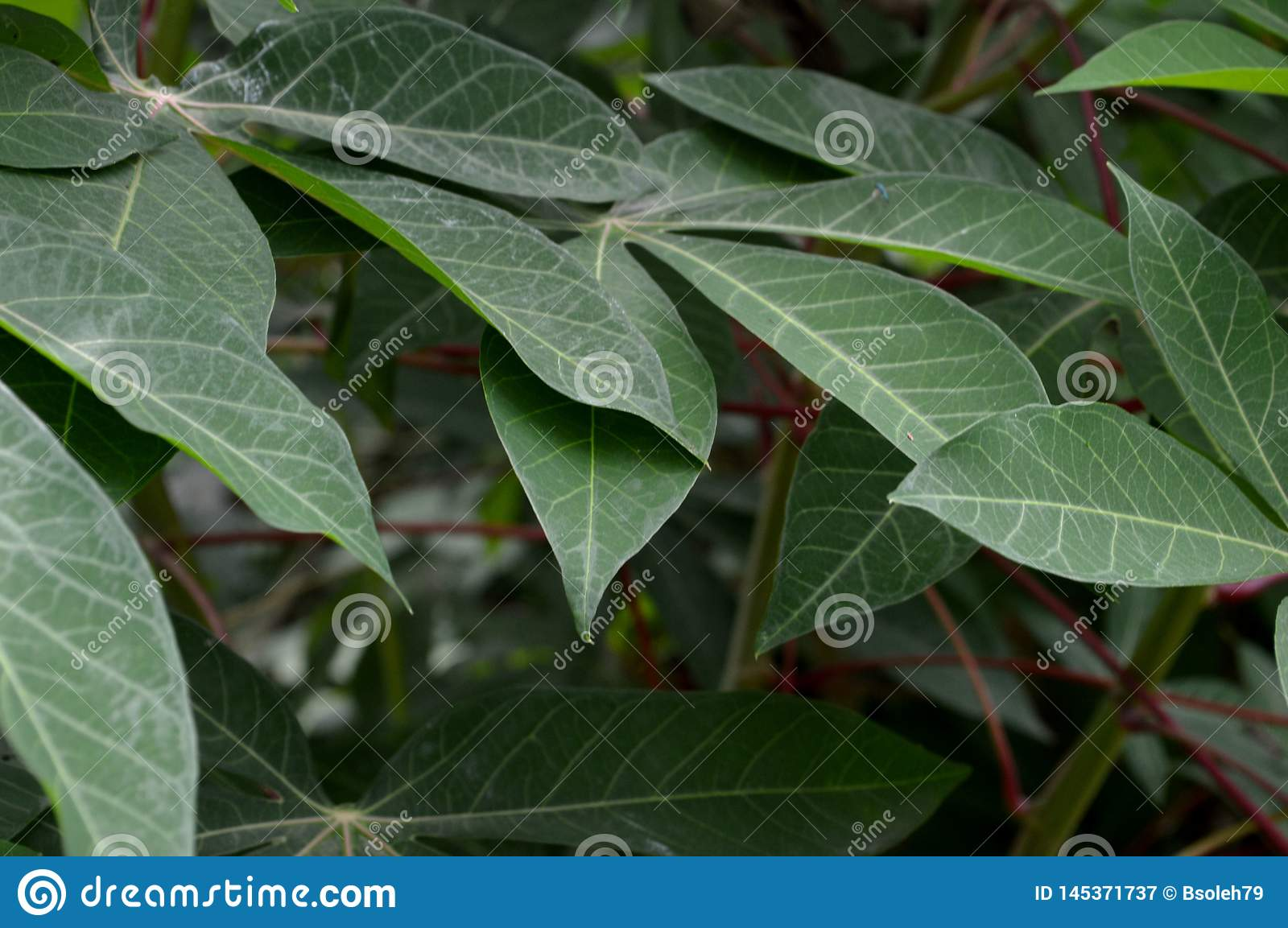 The shape and texture of tropical green leaves