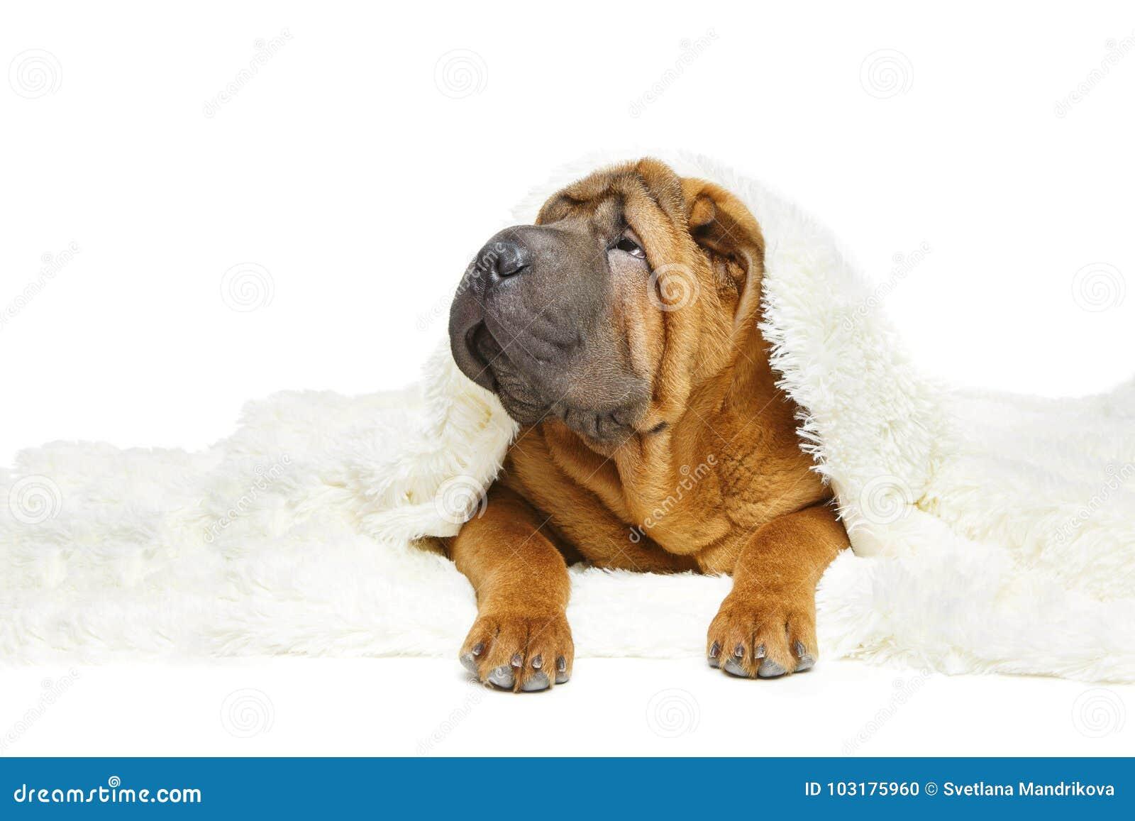 Shar在格子花呢披肩下的pei小狗