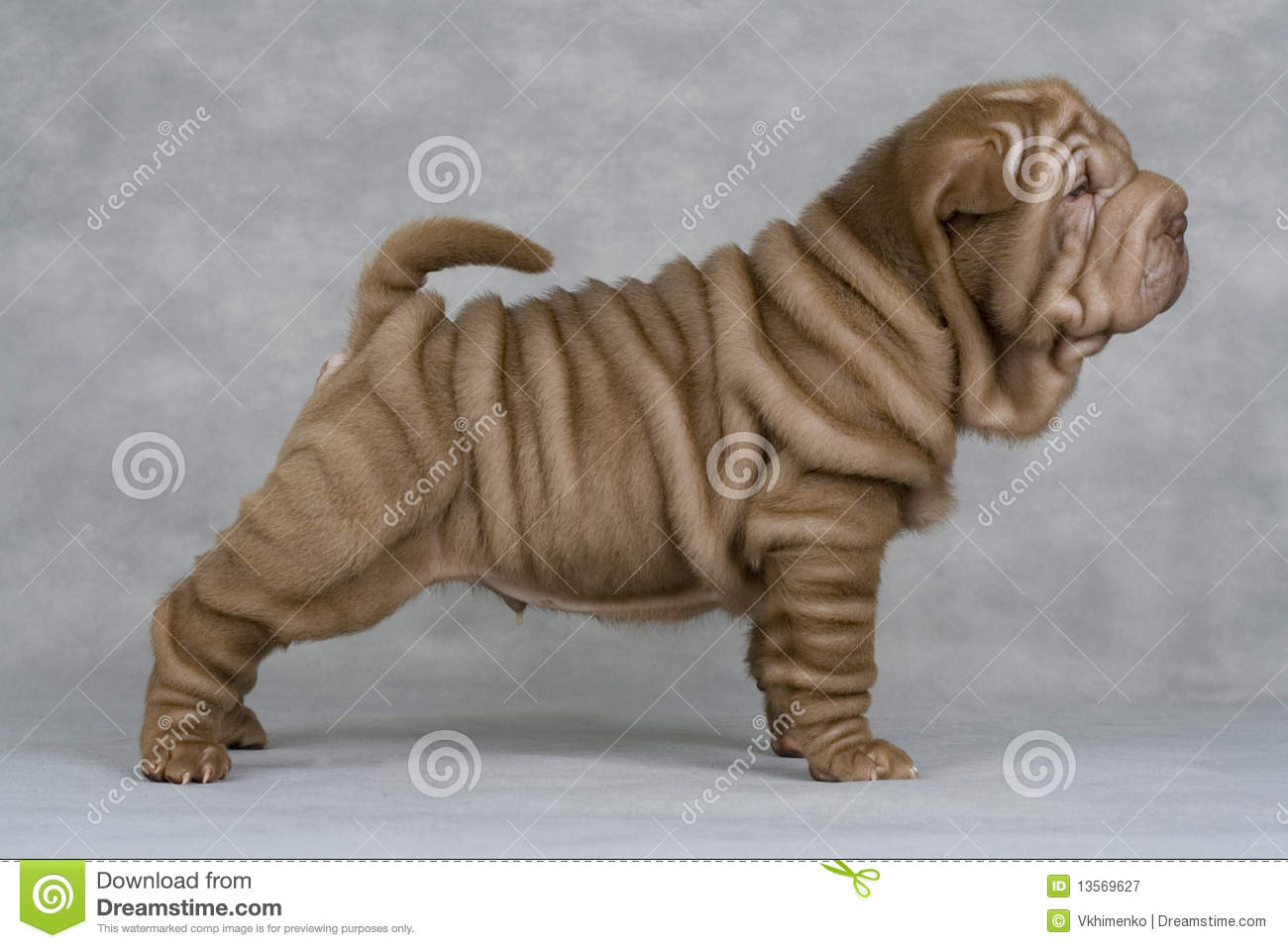Shar-pei Royalty Free Stock Photography - Image: 13569627