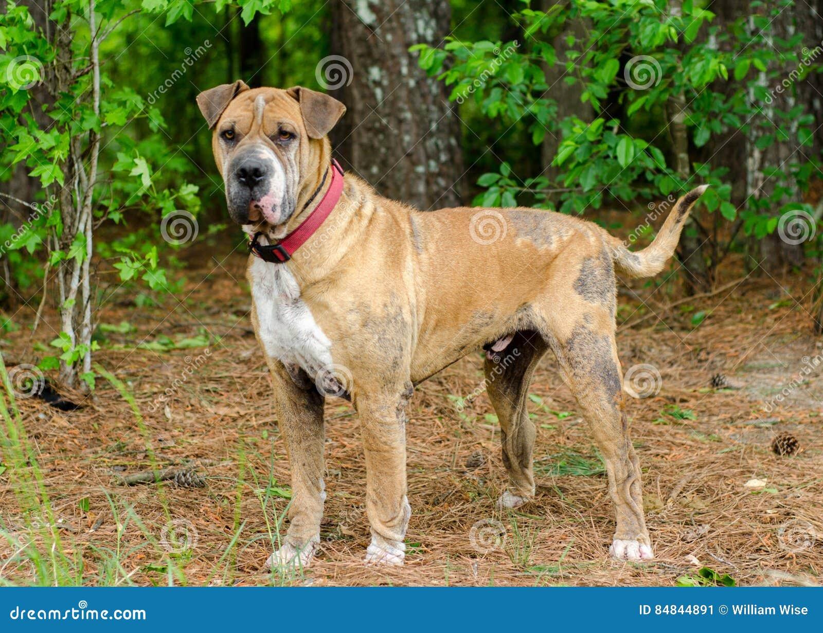 Shar Pei Hund Mit Räude Stockbild Bild Von Menschlich 84844891