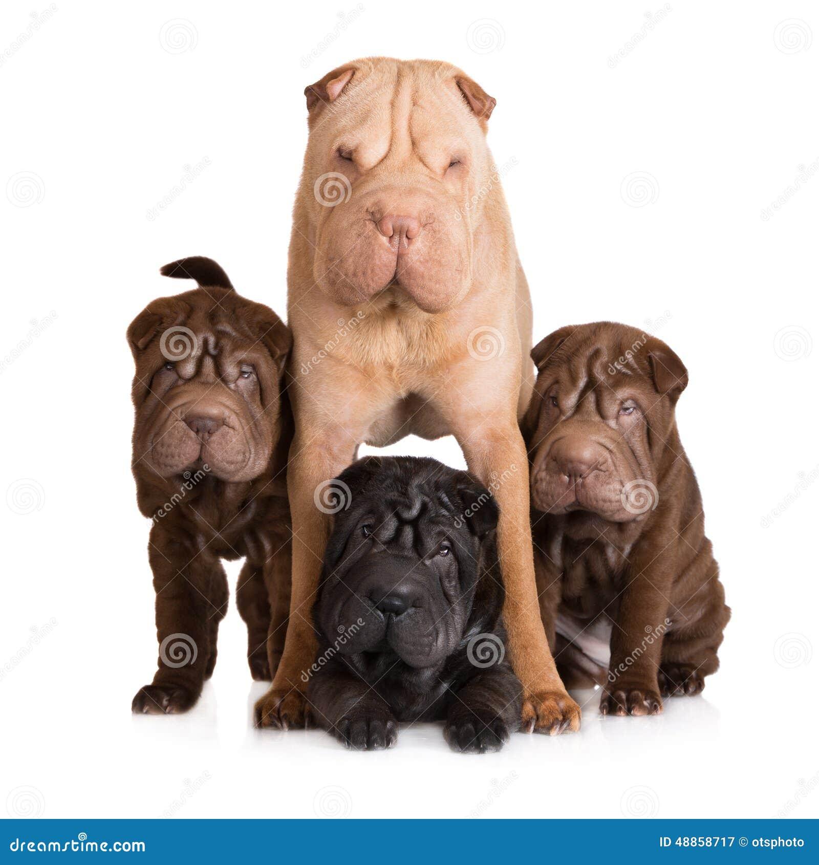 Shar pei pies z jej szczeniakami
