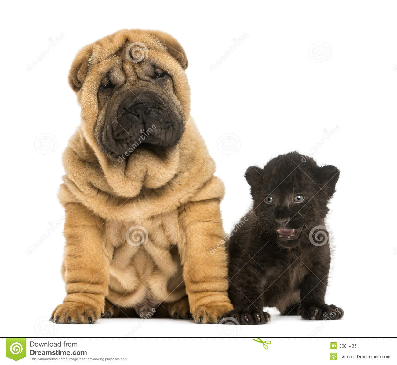shar pei puppy and black leopard cub sitting next to each. Black Bedroom Furniture Sets. Home Design Ideas