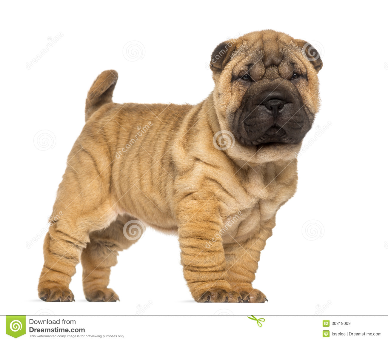 shar pei puppy 2 months old standing and facing stock image image of isolated side 30819009. Black Bedroom Furniture Sets. Home Design Ideas