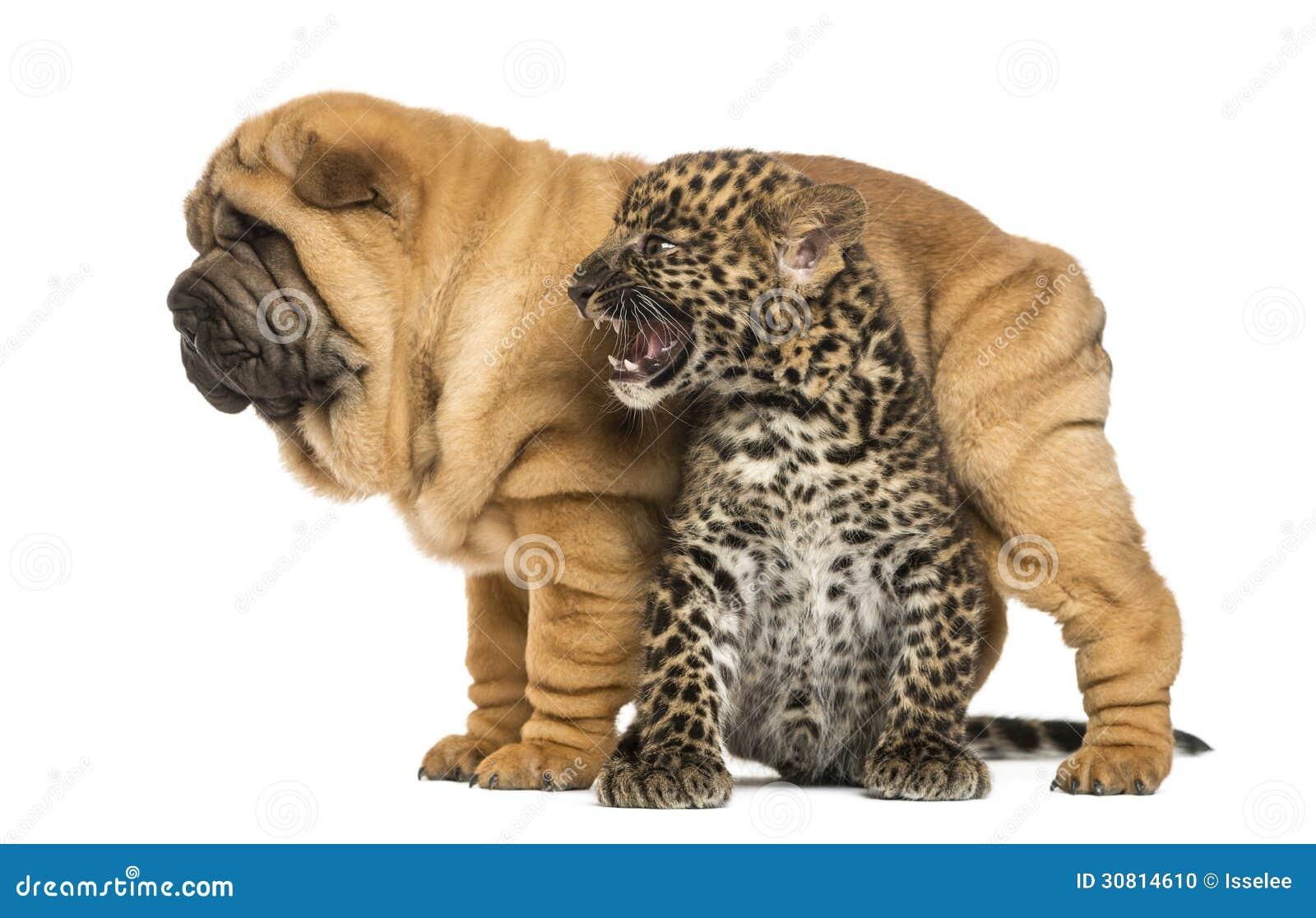 How To Check Labrador Dog Breed