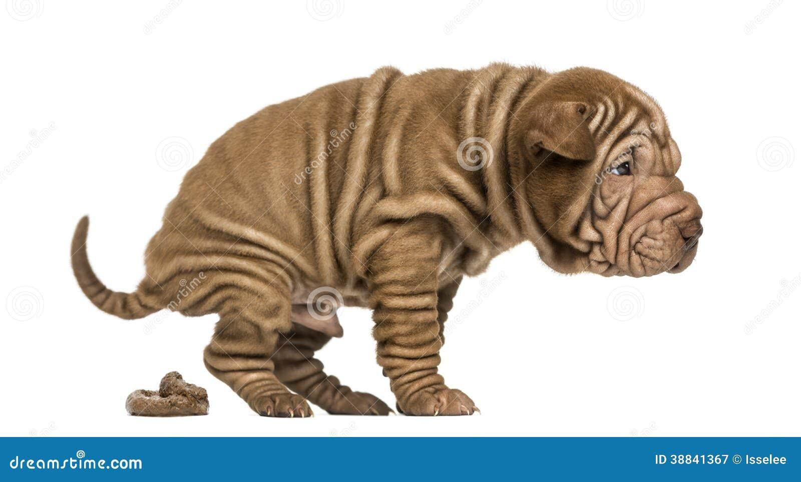 Small Japanese Bear Dog