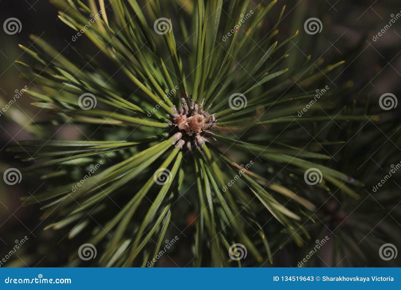 Sharakhovskaya spruse зеленого цвета природы леса