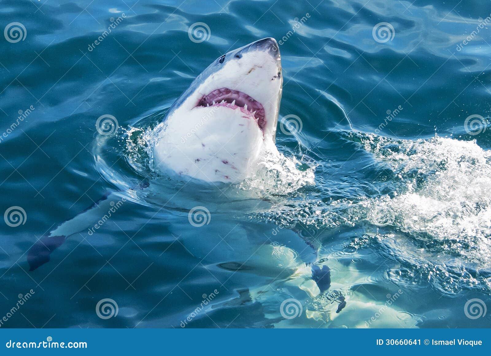 Download Shark attack stock image. Image of predatory, attack - 30660641