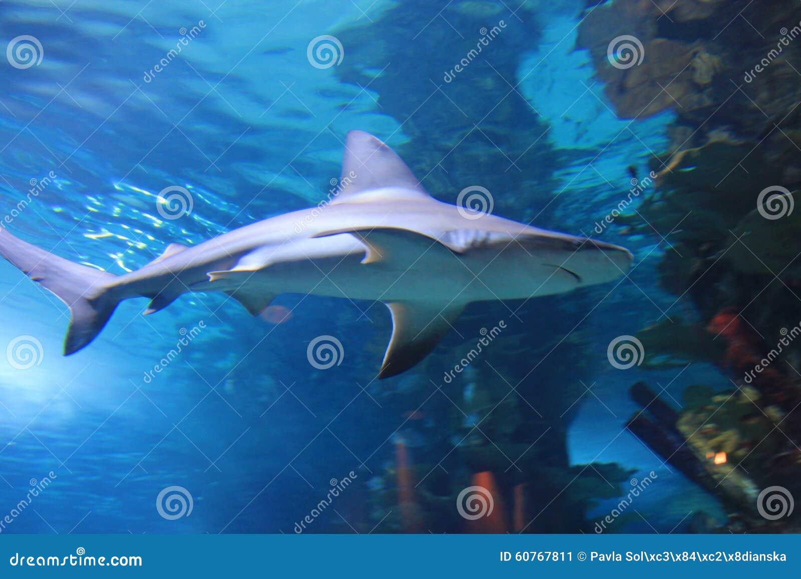 Shark stock image image of corals marine tropicarium for Blue fish aquarium