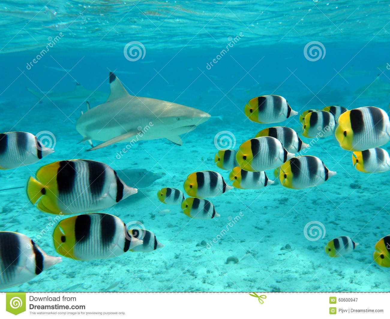 Shark and butterfly fish stock image image of ocean for Bora bora fish