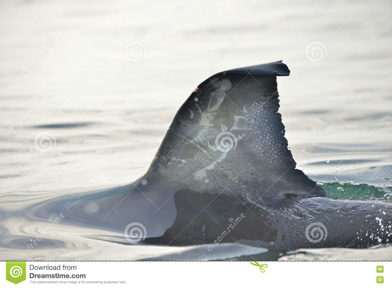 Shark fin in the water  stock image  Image of deadly - 82012817