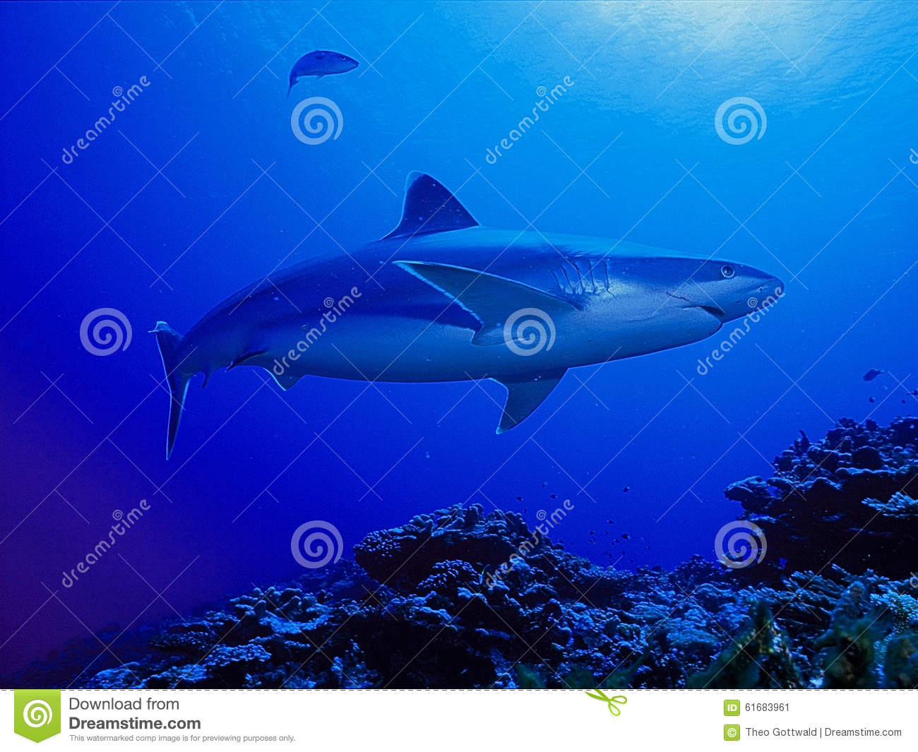 Shark Swimming In Blue Waters Stock Photo - Image: 61683961