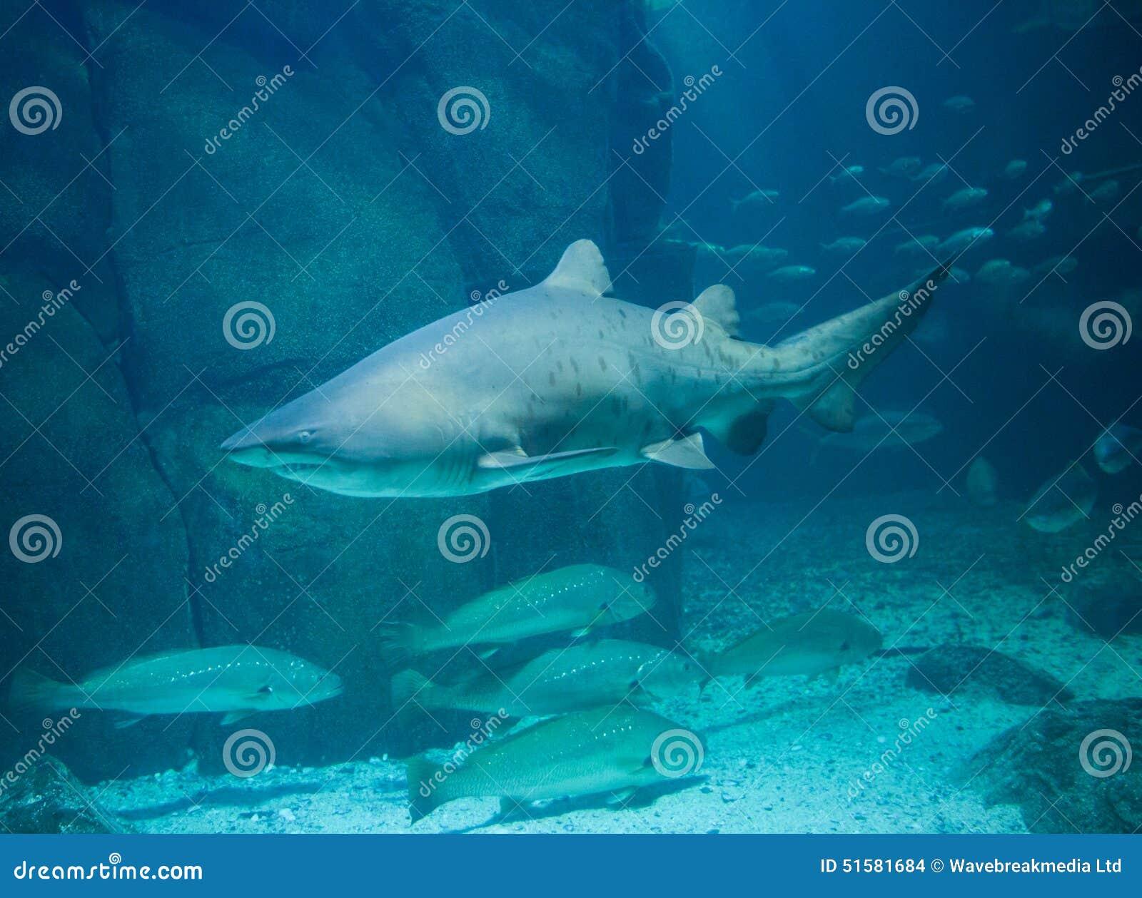 Fish in tank swimming - Shark Swimming In Fish Tank