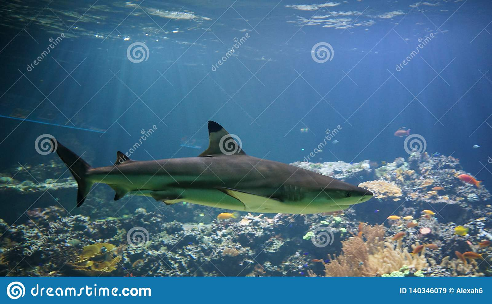 Shark swimming in front of coral reef
