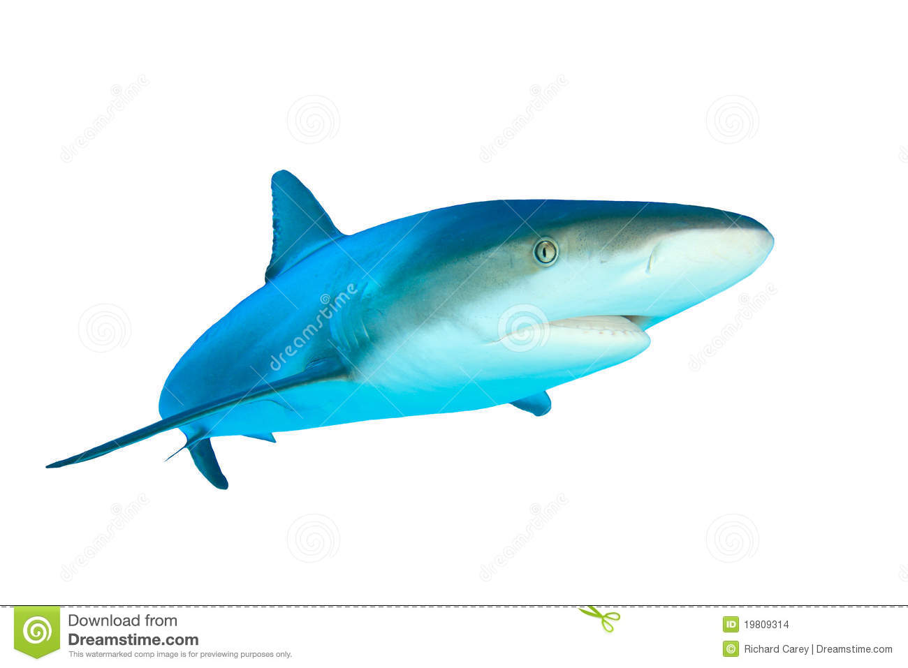 Caribbean Reef Shark (Carcharhinus perezii) isolated on white ...