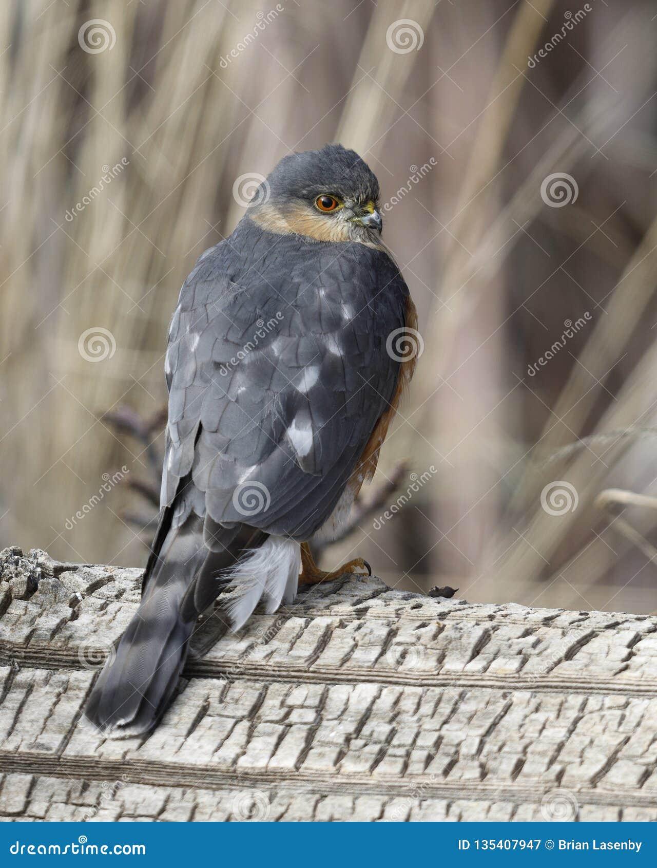 Sharp-shinned Hawk perched on a log