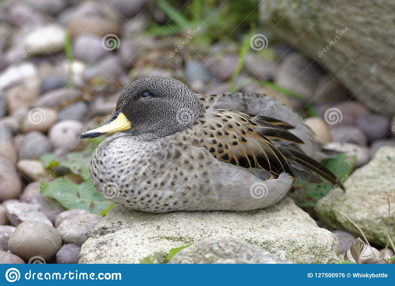 Sharp-winged Teal