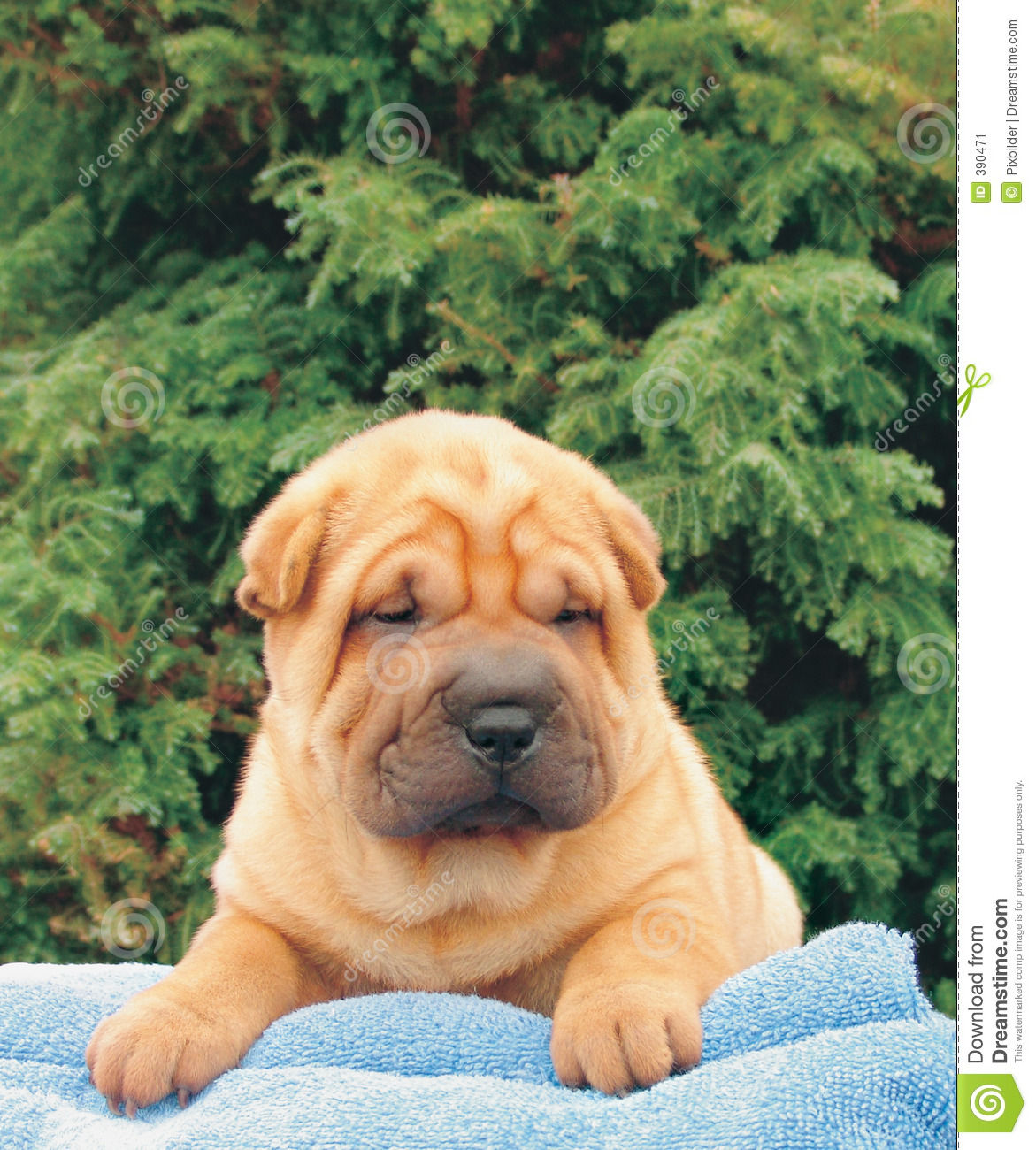download shar pei puppies - photo #43