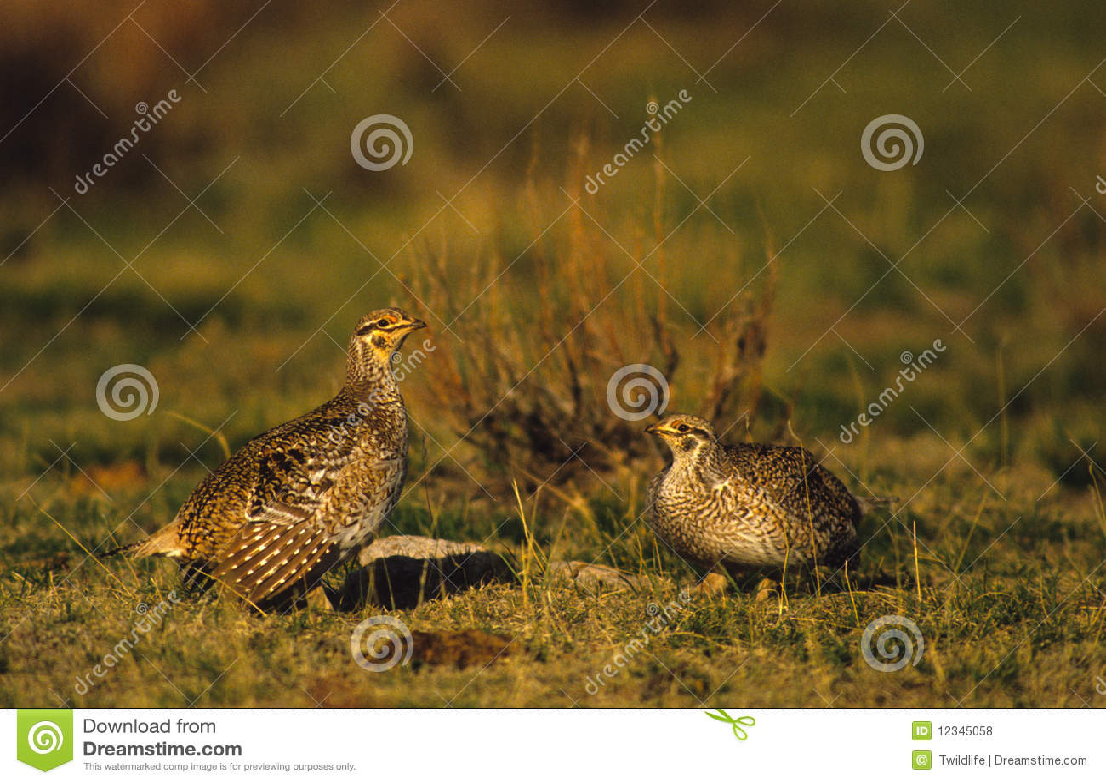 Sharptail Grouse on Lek
