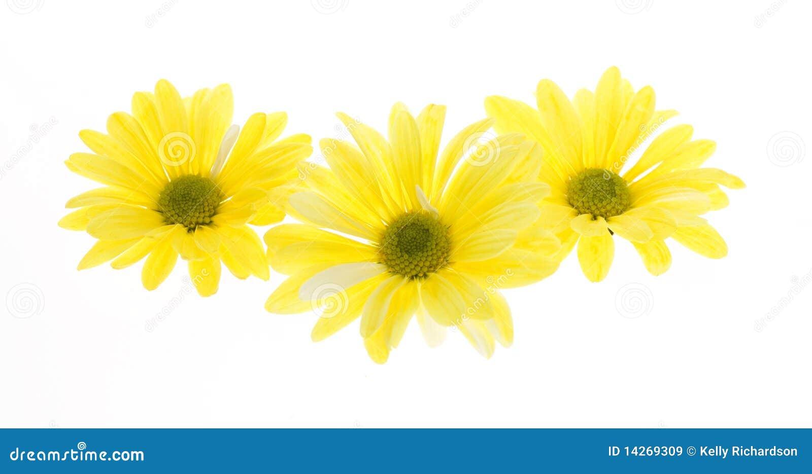 Shasta τρία λουλουδιών μαργα&rh