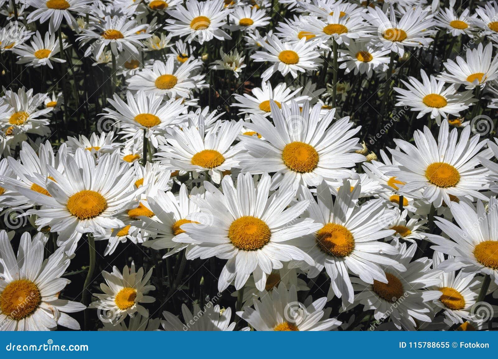 Shasta Daisies Flowers Stock Image Image Of Leucanthemum 115788655