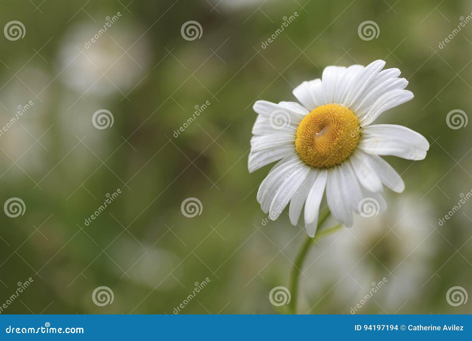 Shasta Daisies Stock Photo Image Of Flora Looks Landscaping