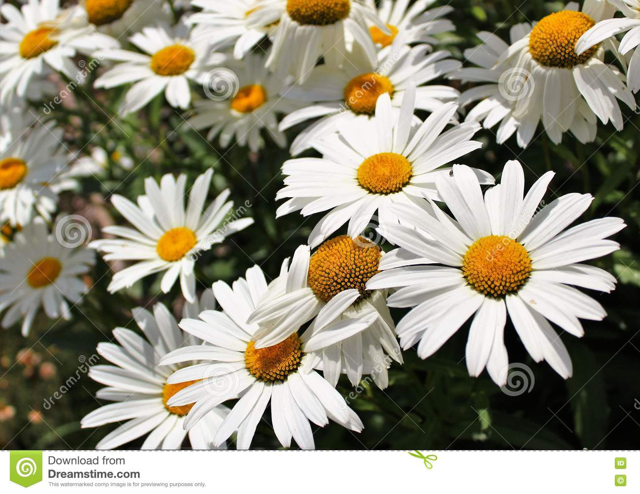 Shasta Daisy Flowers Stock Image Image Of Cultivate 74772345
