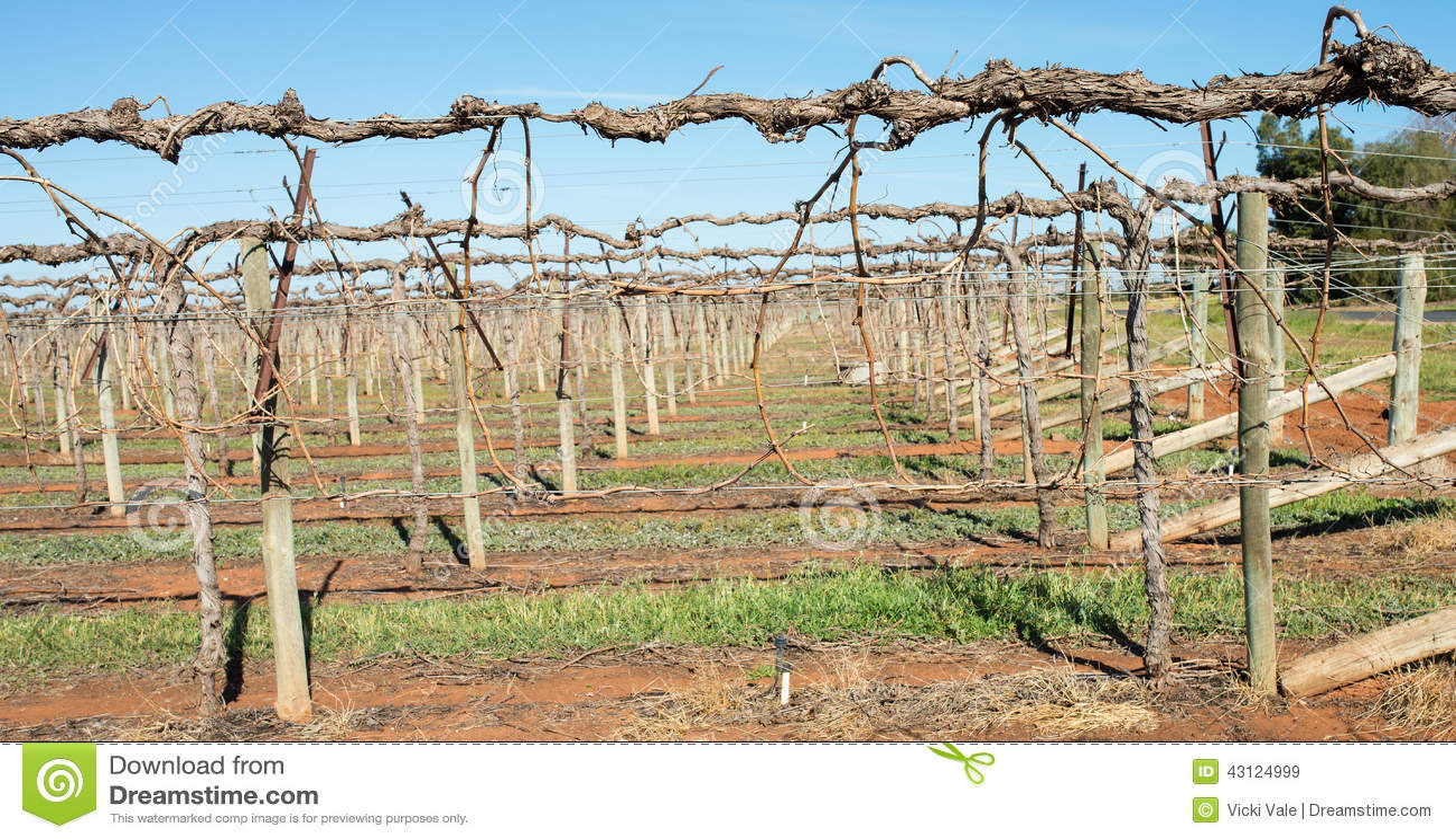 Shaw Swing Arm Trellis Grape Vines Stock Image Image of grape