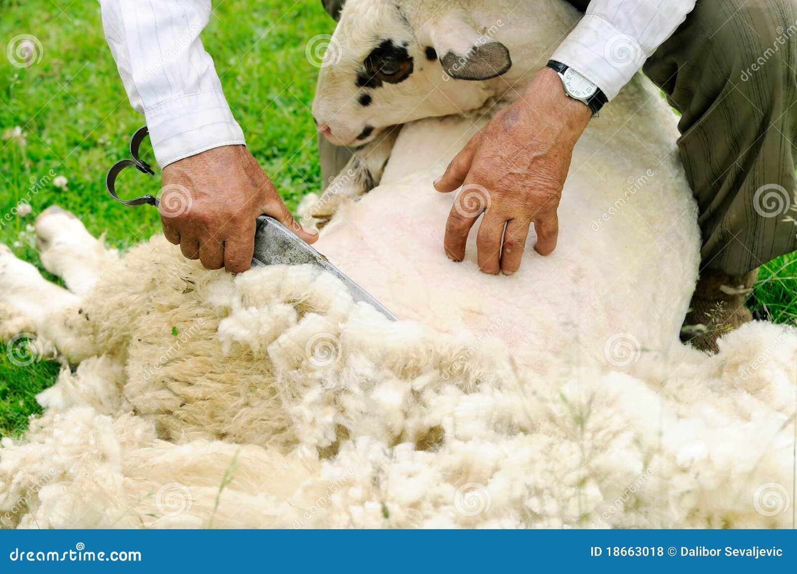 Shaved Sheep Car...Sheep Shearing Clip Art