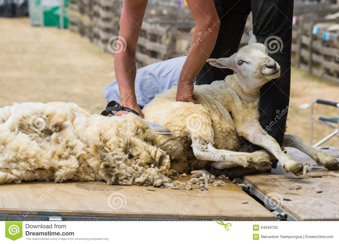 Shearing Sheep Stock Photo Image Of Labor Sharp Curly