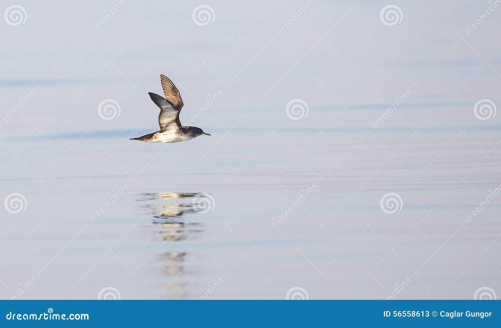 Download Shearwater Yelkouan κατά την πτήση Στοκ Εικόνα - εικόνα από αγριότητα, ευρέως: 56558613