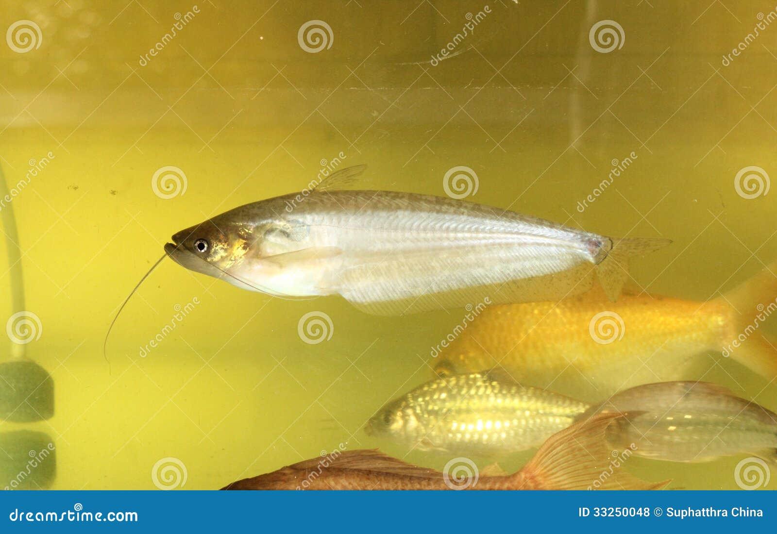 Sheatfish Royalty Free Stock Photos - Image: 33250048