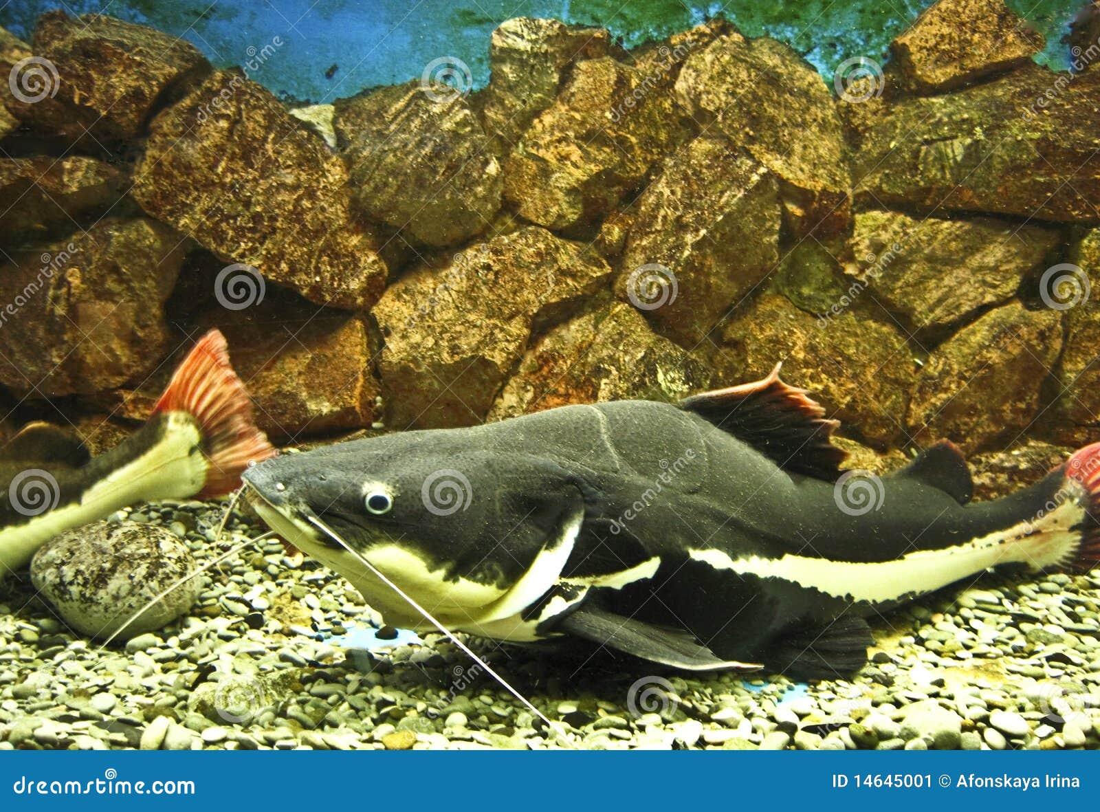 Sheatfish Phractocephalus hioliopterus, recorded in acquarium in town ...