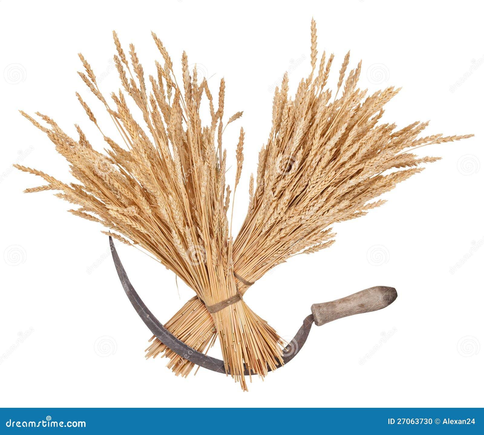пшеница фото сноп