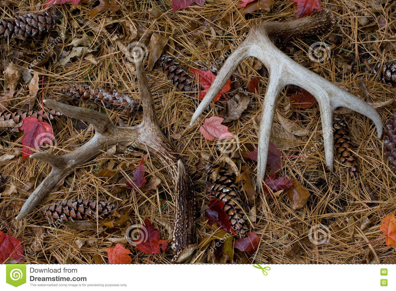 Shed Whitetail Deer Antlers in Pine Needles