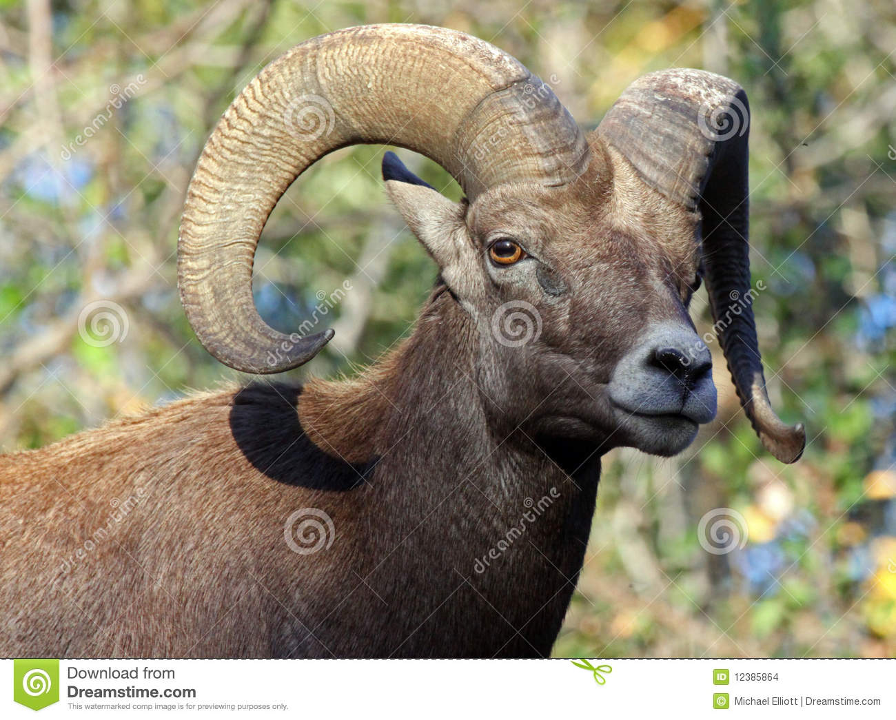 Download Sheep stock photo. Image of furry, creature, antlers - 12385864