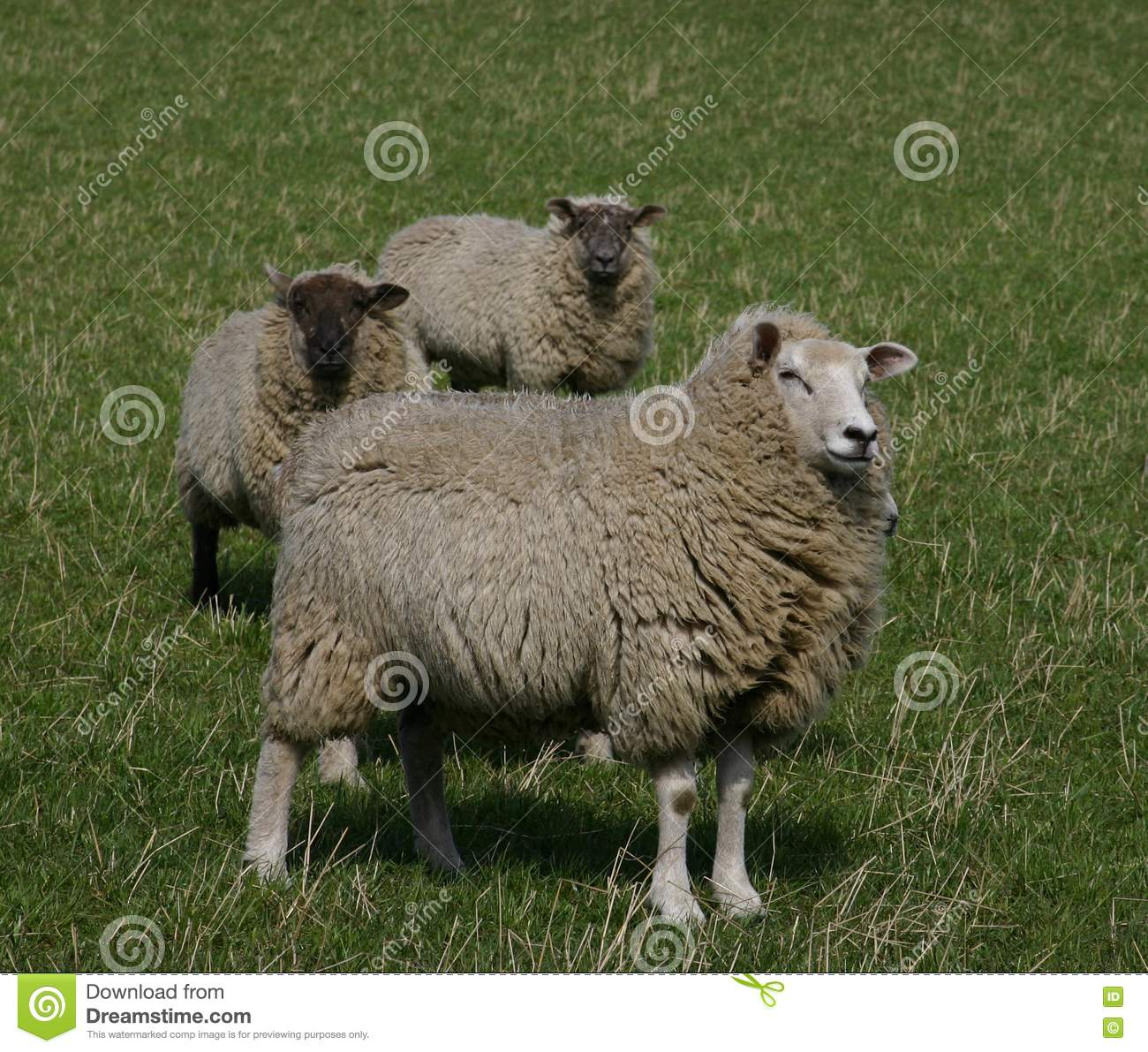 Stock Photography Sheep Picture Image 638322
