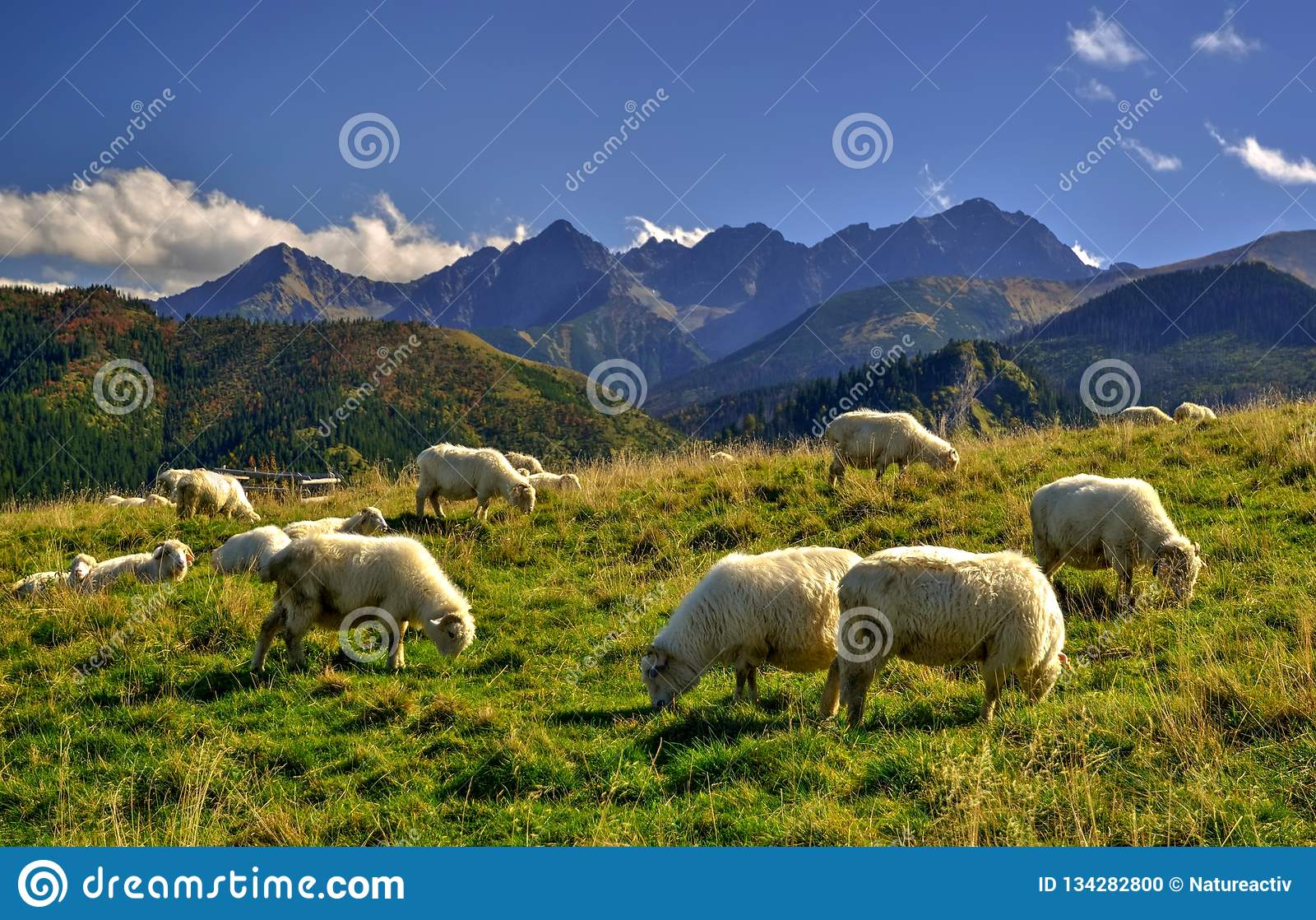 Sheep on a beautiful mountain meadow.