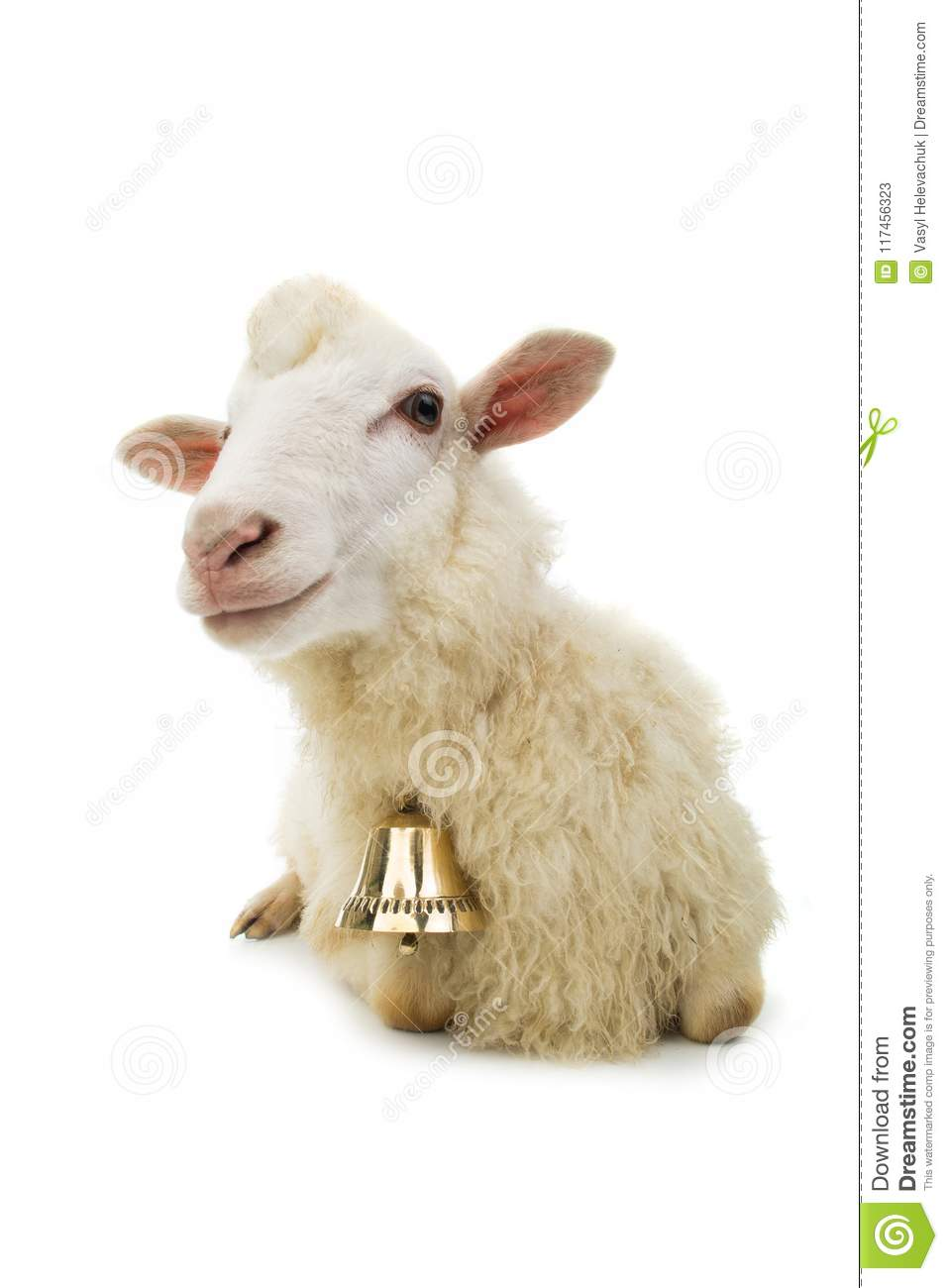Sheep with bell