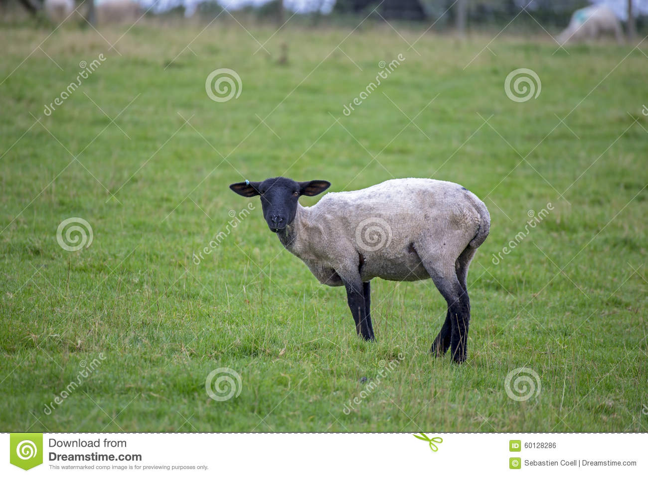 Sheep Black Face Stock Photo Image Of Outside Farm 60128286