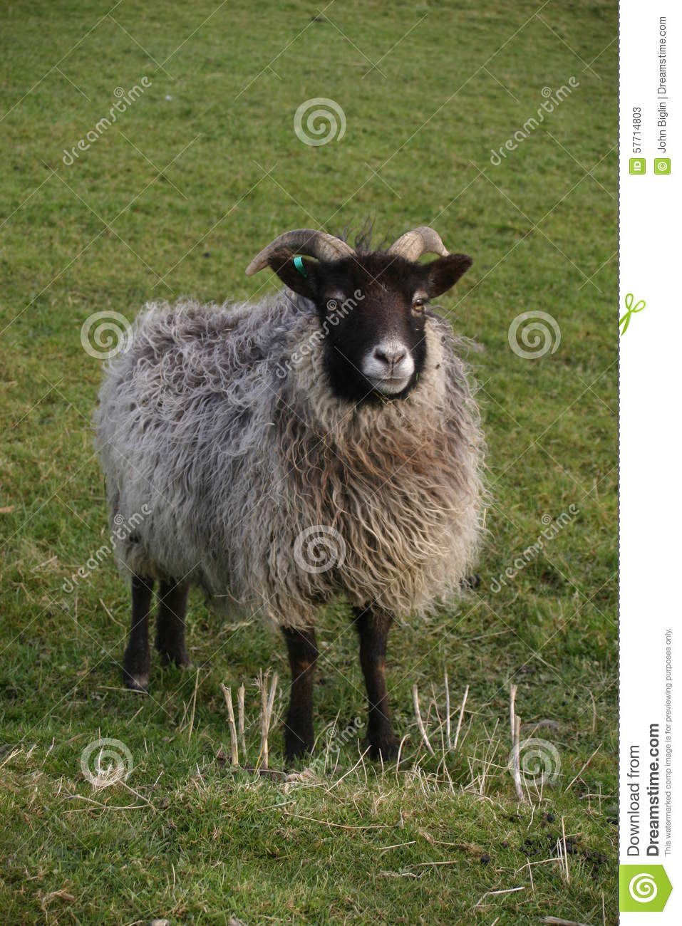 Horned sheep with black head