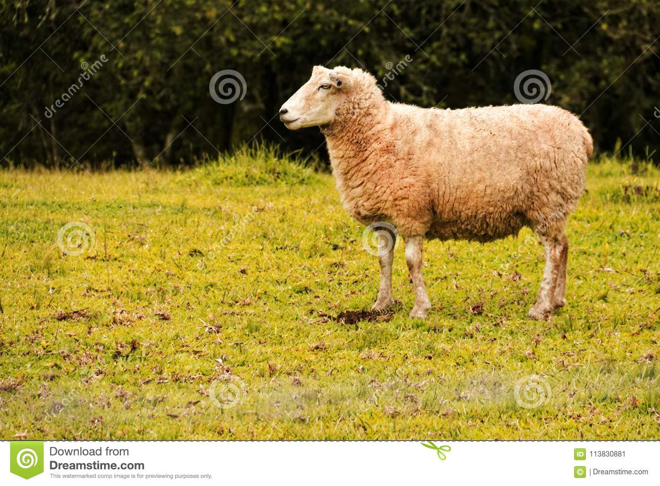 Isolated Sheep On A Green Pasture Stock Image - Image of wool