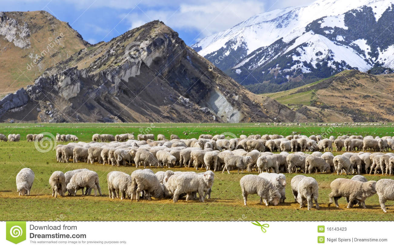 Sheep At Castle Hill New Zealand Stock Photos Image