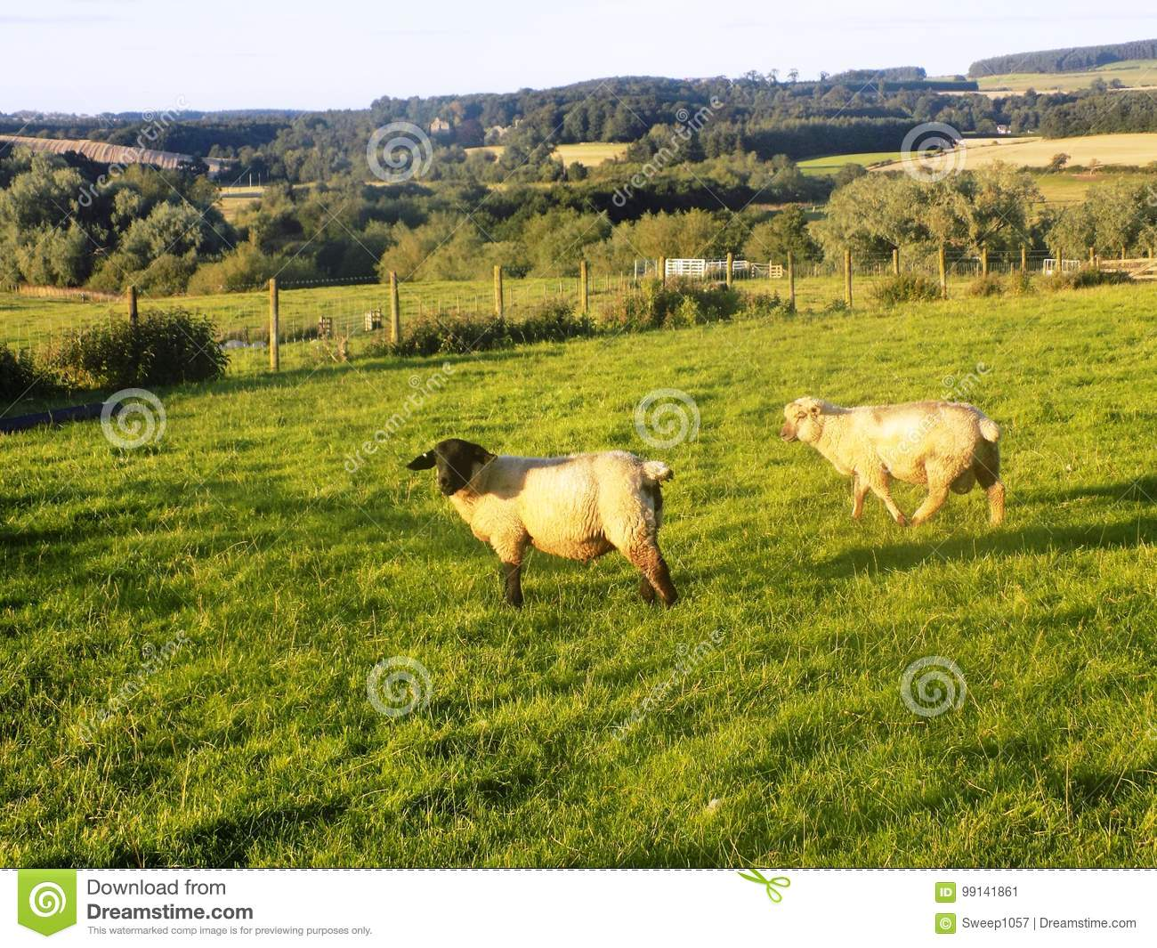 Sheep Crookham Northumberland England Stock Image
